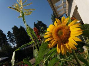 Varkauden Vanhainkotisäätiön palvelutalon pihalla kukkivat kauniit kukat ja kasvit